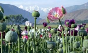 afghanistan-poppy