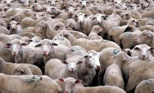 moutons-troupeau