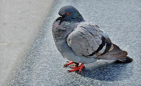 Madame Delaunay, prenez-nous pour des pigeons !
