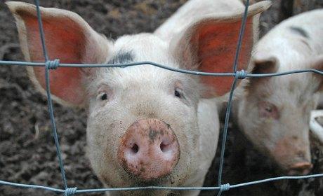 Défense du portrait de l'homme en cochon