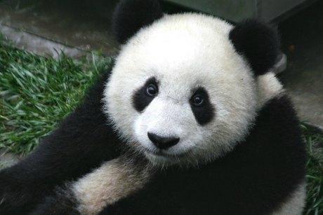 panda hamas