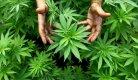 kalachnikov cannabis