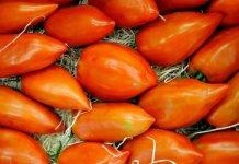 coeur boeuf tomates gers