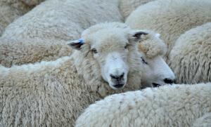 Troupeau de moutons en Nouvelle-Zélande, 2015. SIPA. 00712819_000005
