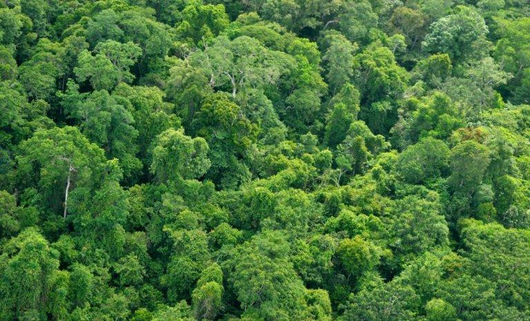 Couper des arbres tue des gorilles, pas forcément le climat