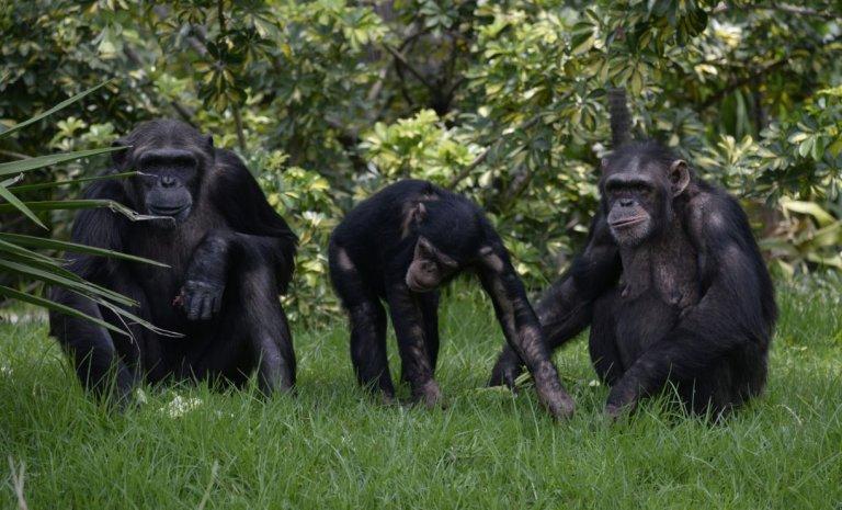 L'écriture inclusive ne marchera pas (non plus) chez les chimpanzés