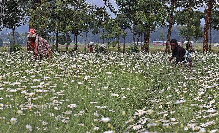 Comment externaliser les pesticides chez les pauvres