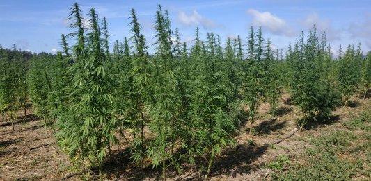 sarah halimi traore cannabis