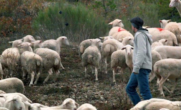 «Aucun éleveur ne s'habitue à la prédation du loup»