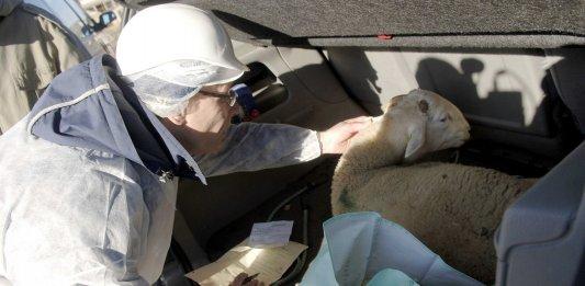 aid adha sacrifice agneau
