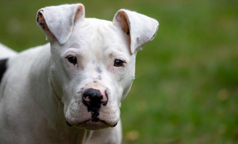 Curtis: innocent molosse ou chien devenu fou?